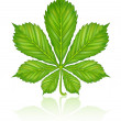 Green leaf of chestnut tree isolated — Stock Vector #1012881