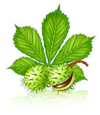 Chestnut seed fruits with green leaf iso — Stock Vector