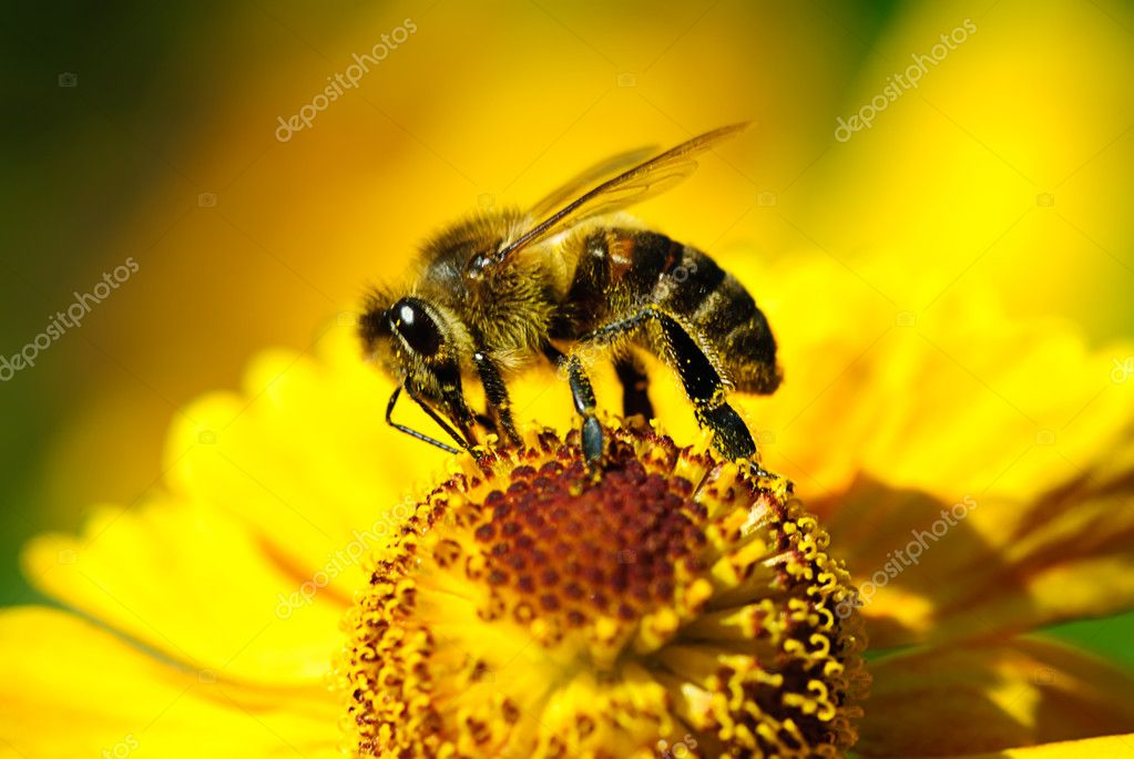Bee on flower in garden  Stock Photo #1005916
