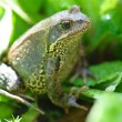 Green frog on a grass — Stock Photo