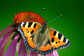 Butterfly sits on a flower — Stock Photo
