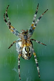 Cross orb weaver (Diadematus araneus) — Stock Photo