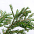 Fir-tree  twig, — Foto Stock
