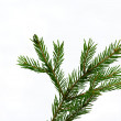 Fir-tree twig, — Stock Photo