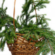 Branch fir-tree in basket — Stock Photo