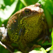 Green frog in summer on grass — Stock Photo #1319555