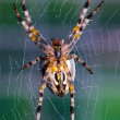 Cross orb weaver (Diadematus araneus) wa — Stock Photo