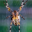 Stock Photo: Cross orb weaver (Diadematus araneus) wa