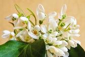 Snowdrop flowers — Stock Photo