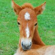 Foal on a meadow — Foto de Stock