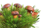 King boletus edulis — Stock Photo