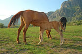 Foal and mare — Stock Photo