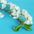 Cherry-tree twig — Stockfoto