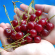 Royalty-Free Stock Photo: Handsful of cherries