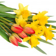 Stock Photo: Red tulips and yellow narcissus