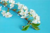 Cherry-tree twig — Stock Photo