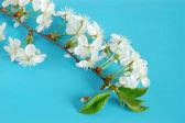Rameau de cerisier — Photo