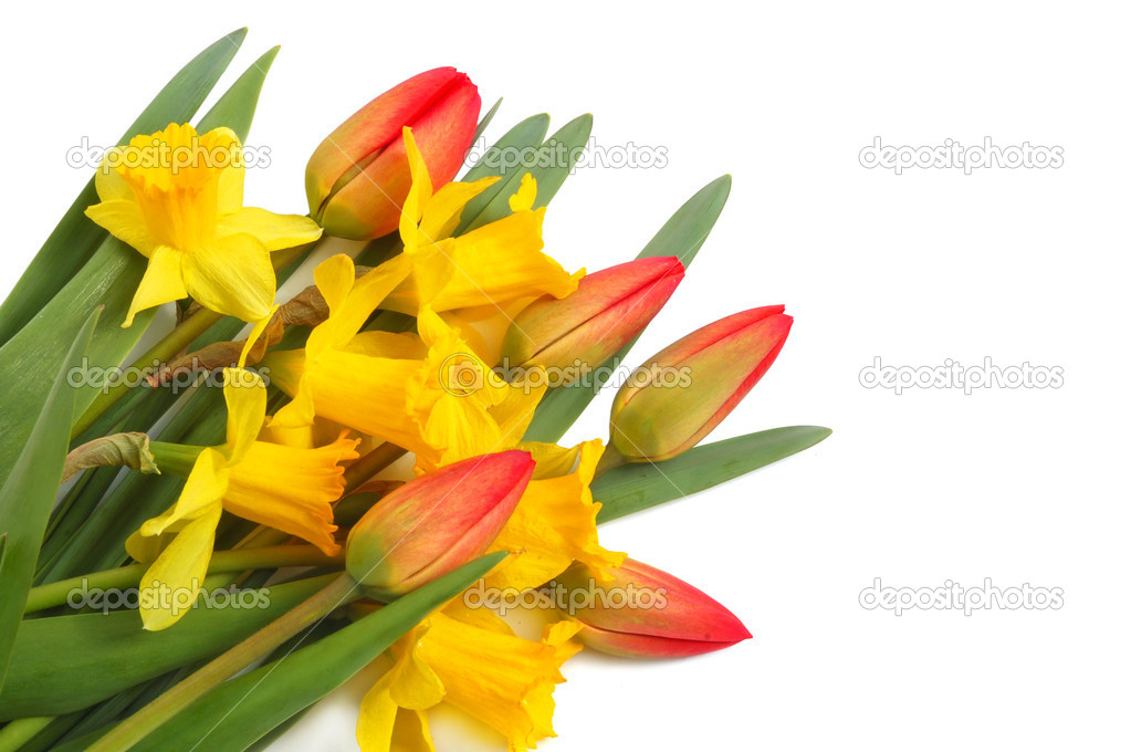 Red spring tulips and yellow narcissus on white background — Stock Photo #1043291