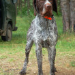 German wirehaired pointer — Stock Photo #1907652