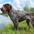 Stock Photo: German wirehaired pointer