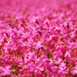 Pink flower field — Stock Photo #1908244