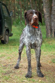 Tedesco wirehaired puntatore — Foto Stock