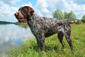 German wirehaired pointer — Stock Photo