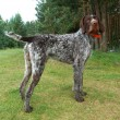 German wirehaired pointer - Zdjęcie stockowe