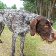 German wirehaired pointer — Stock Photo #2153073