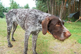 German wirehaired pointer — 图库照片