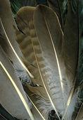 Raven feathers — Stock Photo