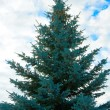 Stock Photo: Blue Fir