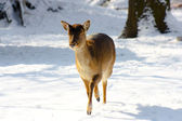 Fallow-deer — Stock Photo