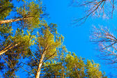 Trees on the sky background — Stock Photo