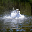 Splashing swan - Stock Photo