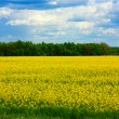 Rapeseed field — Stock Photo #1025549