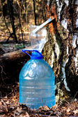 Harvesting birch sap — Stock Photo