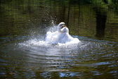 Splashing swan — Stock Photo