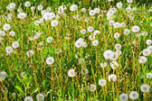 Fading dandelions — Stock Photo