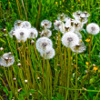 Fluffy dandelions — Stock Photo #1039750