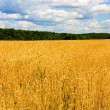 Wheat field - Foto de Stock