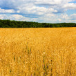 Wheat field - 