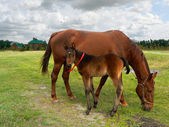 Young and adult horses — Stock Photo