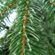 Royalty-Free Stock Photo: Drrops on the fir tree