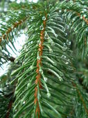 Drrops on the fir tree — Stock Photo