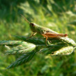 Macro of small green grasshopper — Stock Photo #1305176