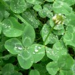 Stock Photo: Macro drops on the Shamrocks