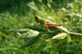 Macro of small green grasshopper — Stock Photo