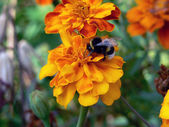 Bumblebee on the yellow flower — Stock Photo