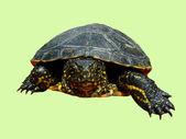 Isolated tortoise — Stock Photo